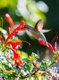 Anna's hummingbird. Northern California hummingbird Stock Photography