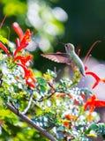 Anna's hummingbird. Northern California anna's hummingbird Royalty Free Stock Image