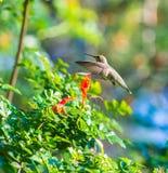 Anna's hummingbird. Northern California anna's hummingbird Stock Photo