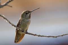 Anna's Hummingbird on perch Stock Photo