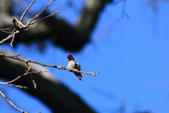 Anna's hummingbird. This is Anna's hummingbird perched on a branch Royalty Free Stock Images