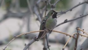 Anna's hummingbird perched and flies away