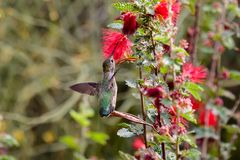 Anna`s Hummingbird, perched on leaf, feeding on red flowers. Anna`s Hummingbird perched on a fragile leaf, wings flapping for balance as it drinks from red royalty free stock photo