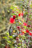 Anna`s Hummingbird, perched on leaf, red flowers nearby. Anna`s Hummingbird perched on a fragile leaf, just before feeding on red bottlebrush flowers overhead royalty free stock images