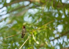 An Anna`s hummingbird perched in a willow tree royalty free stock image