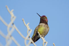 Anna's Hummingbird on a Fence. An Anna's Hummingbird perches on a chain link fence with light blue sky behind royalty free stock photos