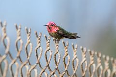 Anna`s hummingbird with pink head atop fence. An adult male Calypte anna atop a chain link fence at Bolsa Chica Ecological Preserve in Orange County, California royalty free stock images