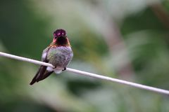 Anna`s Hummingbird. Resting on a rope Royalty Free Stock Images