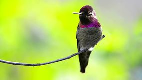 Anna`s Hummingbird stock video footage