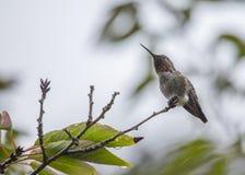 Anna's Hummingbird Stock Photography