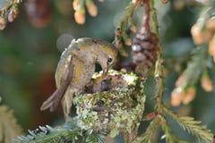 Hummingbird Feeding Her Chicks stock image