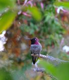 Colorful Male Anna Hummingbird Attracting Its Mate. Tiny male Anna`s Hummingbird sitting on a branch showing off his beautiful colors to his mate with stock photo