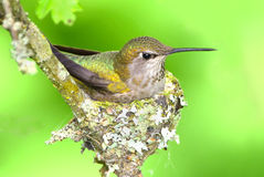 Annas Hummingbird Sitting on Eggs Stock Photo