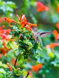 Anna's Hummingbird Sitting on a Leaf. Northern California Anna's Hummingbird Sitting on a Leaf Stock Photo