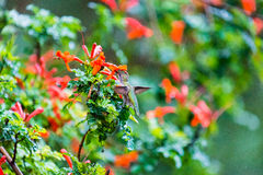 Anna's Hummingbird Sitting on a Leaf. Northern California Anna's Hummingbird Sitting on a Leaf Royalty Free Stock Photography