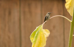 Anna's Hummingbird sitting on yellowed sunflower leaf with wood fence in background Stock Image