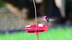 Anna's Hummingbird a small bird eat nectar