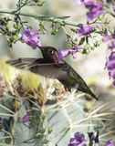 Anna's Hummingbird. Among the sweet, delicate pink blossoms of an Arizonan riparian preserve, this tiny, bejeweled hummingbird finds necter Royalty Free Stock Image