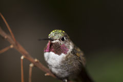 Anna`s Hummingbird Royalty Free Stock Images