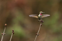Anna's hummingbird wings open Royalty Free Stock Image
