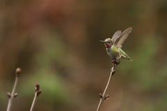 Anna's hummingbird wings open Royalty Free Stock Photo
