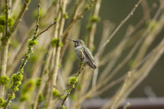 Anna's hummingbird wings open Royalty Free Stock Images