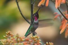 Anna-` s Kolibri Stockfotos