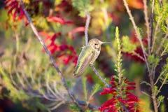 Anna& x27; s-kolibri - Calypte anna Arkivbild