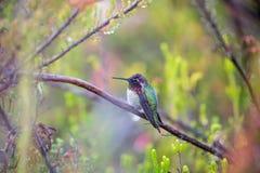 Anna& x27; s-kolibri - Calypte anna Arkivbilder