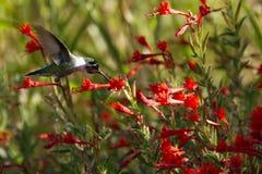 Anna-` s Kolibri, der auf einem Gebiet von rotem Kalifornien Fuschia einzieht Stockfotos