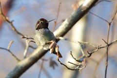 Anna ` s Kolibrie royalty-vrije stock afbeeldingen