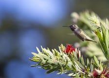 Anna ` s Kolibrie Calypte anna stock afbeelding