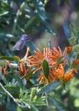 Anna ` s Kolibrie Calypte anna stock foto