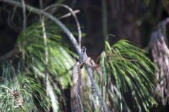 Anna ` s Kolibrie Calypte anna royalty-vrije stock afbeelding