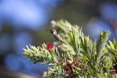 Anna ` s Kolibrie Calypte anna stock foto's