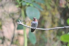 Anna ` s Kolibrie Calypte anna op een tak stock afbeeldingen