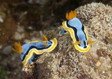 Anna`s Magnificent Sea-slug On Coral Stock Images