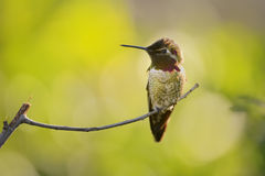 Anna& x27;s Hummingbird Stock Images