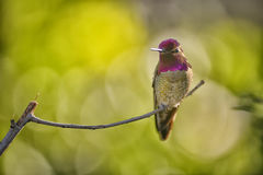 Anna& x27;s Hummingbird Royalty Free Stock Photo