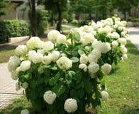 Annabelle--八仙花属arborescens 免版税库存图片