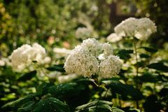 Annabelle Cluster Hydrangea. Hydrangea Treelike. Flowering shrub. Annabelle is the most famous variety of smooth hydrangea royalty free stock image