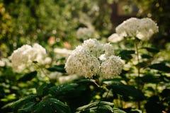 Annabelle Cluster Hydrangea Treelike vanlig hortensia Blomningbuske Annabelle är den mest berömda variationen av den släta vanlig royaltyfri bild