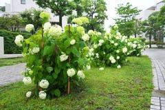 Annabelle Hydrangea in the rain. Tokyo,Japan-June 15, 2019: Annabelle Hydrangea in the rain stock images