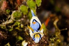 Annae chromodoris κατάδυσης lembeh Ινδονησία σκαφάνδρων nudibranch υποβρύχια Στοκ φωτογραφίες με δικαίωμα ελεύθερης χρήσης