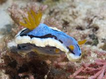 Annae Chromodoris Nudibranch Στοκ Εικόνες