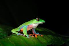 Annae d'Agalychnis, grenouille de grenouille d'arbre, verte et bleue aux yeux d'or sur le congé, Costa Rica Scène de faune de jun Photographie stock libre de droits
