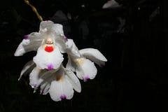 Annae del Dendrobium Foto de archivo libre de regalías
