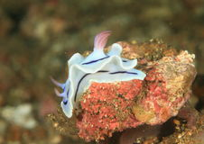 Annae Nudibranch †«Chromodoris Στοκ Εικόνες