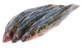Annaldale Loach ή ψάρια gutum του Μπανγκλαντές Στοκ φωτογραφίες με δικαίωμα ελεύθερης χρήσης