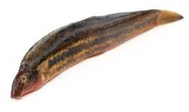 Annaldale Loach ή ψάρια gutum του Μπανγκλαντές Στοκ Εικόνες